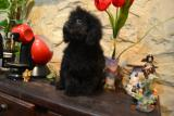 Broker's Black Duque Caniche toy negro macho en venta