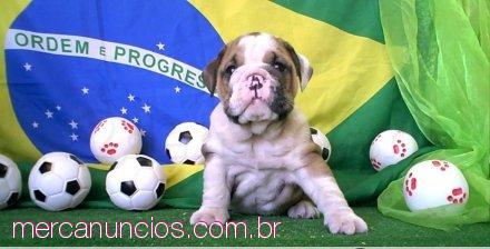 Bulldogues Ingles AKC Registrados disponsivel