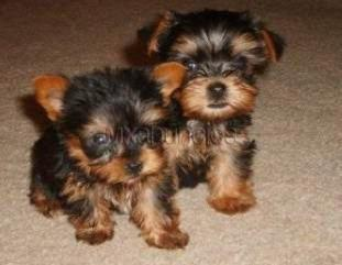 Yorkie Puppis for sale